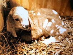 This little goat is a Nubian Boer cross.