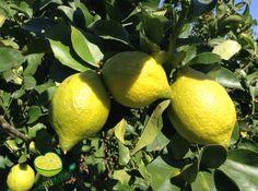 Limoni bilogici 100%