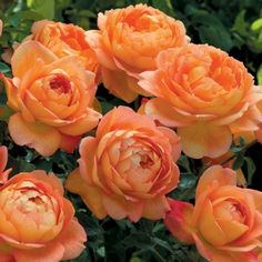 We carry the latest and best varieties of David Austin English Roses for our climate. David Austin English roses are characterized by their bushy growth