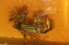 Ancient Tree Frog Found Encased in Amber