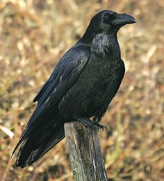 85. Common Raven. 1/10/2014. Crystal Cove State Park, CA