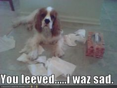 dog pics of Cavilier King Charles Spaniels with funny captions | ... king charles spaniel - Page 5 - Loldogs n Cute Puppies - funny dog