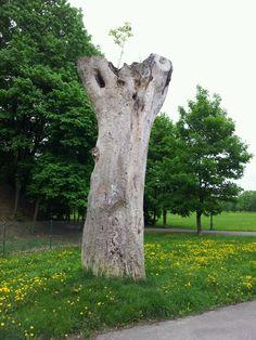 Old tree in Poznan