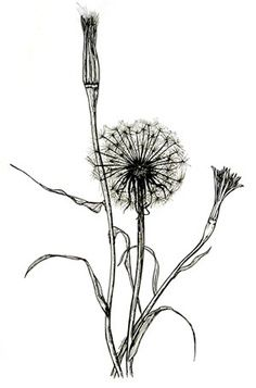 botanical illustration black and white - Google Search