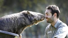 patrick the wombat | Patrick the wombat, with his Ballarat Wildlife Park head keeper Stuart