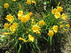 """Stella De Oro Daylily 14""""h  This is hady down to Zone 2."""