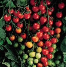Grow Organic Tomatoes - Get to know the Sweet 100 Tomato a little bit better: size, days to maturity, color, season, type. Growing Tomatoes Indoors, Growing Tomatoes From Seed, Growing Tomato Plants, Types Of Tomatoes, Varieties Of Tomatoes, Growing Tomatoes In Containers, Grow Tomatoes, Tomato Types, Veggies