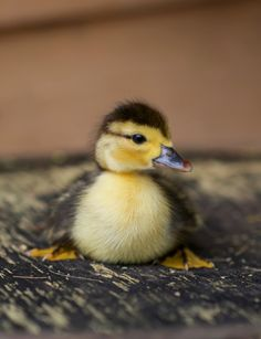 Cute article about personal insights on raising Muscovy Ducks.