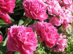 """I am in love with peonies. This site gives tips on """"How to Grow Peonies in Containers."""""""