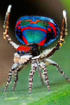 Spider-peacock (maratr fly), – Arthropods – – Pin's Page Weird Insects, Cool Insects, Bugs And Insects, Rare Animals, Unique Animals, Beautiful Creatures, Animals Beautiful, Les Reptiles, Cool Bugs