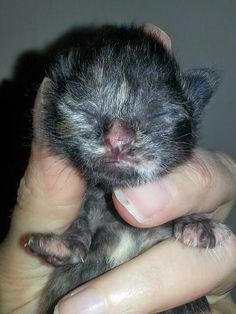 D Chapin's Cats ~ Tortie baby
