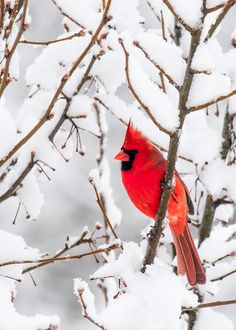 winter cardinal bird photo 5x7 fine art photographic by greenpix, $10.00