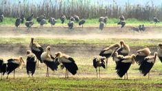 Traffic Jam on stork highway. March rains halt migration and thousands of White Storks wait for good gliding conditions Bird Migration, Storks, Camel, Wildlife, Pets, Animals, Holidays, March, Stork