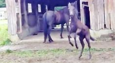 Country Music Lyrics - Quotes - Songs  - Baby Mule Adorably Slips and Falls While Dancing - Youtube Music Videos http://countryrebel.com/blogs/videos/dancing-mule-adorably-slips-and-falls-while-busting-a-move