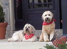 #FrederickCity is a #dogfriendly #area with many options for #petlovers such as #BakerPark #DogParks# #CentralDawgma among the choices.... #Wheaten #Christmas in #2012 #FrederickCountyMaryland #MichelleMillerMackintoshInc.,REALTOR #301.606.3703 #FrederickMarylandRealEstate #michellemillerhomes@outlook.com start your most accurate search here: #http://michellemiller2.xactsite.com #Frederick #Maryland