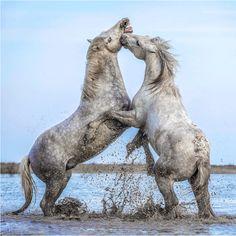 Stallions Wrestle.... by Paul Keates on 500px
