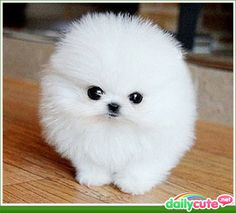 Dogs - The Tiniest and Fluffiest of all Tiny Fluffy Dogs