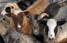 Five colors of Shetland Sheep. Utterly gorgeous. How can I resist!