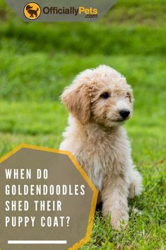 When do Goldendoodles shed their puppy coat? Check my article which answers this question and provides you with some extra goldendoodle knowledge! Goldendoodle Training, Goldendoodle Grooming, Mini Goldendoodle Puppies, Puppy Grooming, Labradoodle, Goldendoodles, Goldendoodle Haircuts, Standard Goldendoodle, Goldendoodle Miniature
