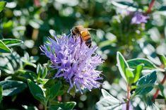 Coyote Mint Garden Features, Drought Tolerant, Bloom, Mint, Landscape, Plants, Palette, Pallet, Plant