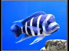 Species Profile Cyphotilapia Frontosa. Tank Talk Presented by KGTropicals - YouTube Tropical Aquarium, Aquarium Fish, Lake Tanganyika, African Cichlids, Fish Tank, Profile, Tattoo, Youtube, Freshwater Fish