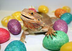 Gizmo the Bearded Dragon celebrating Easter! Bearded Dragon, Dragons, Easter, Easter Activities, Kites