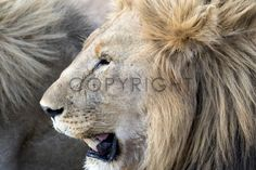 Lion Portrait - Madikwe Game Reserve, South Africa