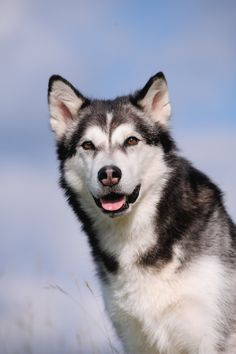 Alaskan Malamute Breed Information Malamute Puppies, Alaskan Malamute, Husky Puppy, Most Beautiful Dogs, Animals Beautiful, Cute Animals, Old Dogs, Dog Photos, Dogs