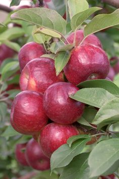 Apple 'Frostbite' --- a hardy, exceptionally sweet apple from the University of Minnesota