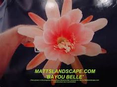 epiphyllum bayou belle - Yahoo Image Search Results
