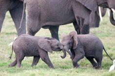 Baby elephants/elephant calves. Photo credit: Billy Dodson