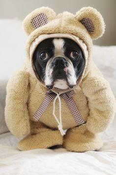 Yoda Bear, Boston Terrier wearing a Teddy Bear costume, funny dog photos, ©️️A Dog Walks Into A Bar Funny Dog Photos, Cute Funny Dogs, Puppy Pictures, Teddy Bear Costume, Cartoon Dog, Training Your Dog, Dog Walking, Dog Toys, Animals And Pets