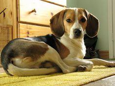 Dog 101 | Dog Breeds | Beagle Dogs | Nylabone®