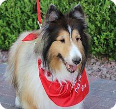 8/25/14 Las Vegas, NV - Sheltie, Shetland Sheepdog. Meet ALLIX, a dog for adoption. http://www.adoptapet.com/pet/11445912-las-vegas-nevada-sheltie-shetland-sheepdog