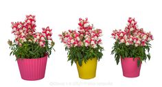 Antirrhinum, Snapdragon Floral Showers Coral Bicolor, annual flower