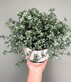 pilea glauca You are in the right place about beautiful house plants Here we offer you the most beautiful pictures about the small house plants you are looking for. When you examine the pilea glauca p Plantas Indoor, Calathea Plant, Yucca, Plants Are Friends, Succulents In Containers, Foliage Plants, Plantation, Green Plants, Container Gardening