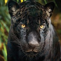 Make A Gift To Wwf And Receive A Symbolic Adoption Kit With A Plush Animal Adoption Certificate And More Black Jaguar Animals Pet Adoption