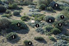 1 : Artemisia lanata 2 : Rhodanthemum hosmariense 3 : Lomelosia cretica 'Jeanne et Jean' 4 : Phlomis lychnitis 5 : Santolina rosmarinifolia 6 : Lavandula x intermedia 'Arabian Nights' 7 : Phlomis purpurea subsp. almeriensis 8 : Senecio vira-vira