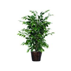 Artificial Ficus Bush (87 BAM) ❤ liked on Polyvore featuring home, home decor, floral decor, artificial flower arrangement, faux ficus tree, artificial trees, fake trees and fake ficus tree