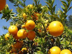 Orange Trees HD Wallpaper