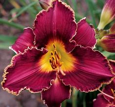 Hemerocallis--'Royal Lace Sampler'