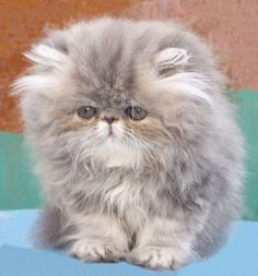 What do you need to know before considering Persian cat adoption? Kittens And Puppies, Cute Cats And Kittens, Baby Cats, Cool Cats, Kittens Cutest, Pretty Cats, Beautiful Cats, Gatos Cat, Kitten Care