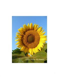 """Poster """"Soleil Tournesol"""" 80x60cm d'une photo artistique d'une superbe fleur de tournesol. : Photos par celinephotosartnature Posters, Nature, Photos, Inspiration, Etsy, Fine Art Photo, Handmade Gifts, Sun, Artist"""
