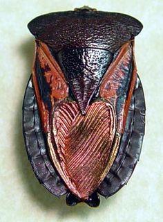 Oncomeris flavicornis flavicornis (male insect)