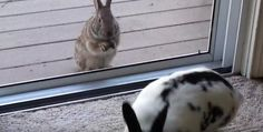 Wild Rabbit Spots Pet Bunny, Falls Madly In Love