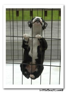 Uplifting So You Want A American Pit Bull Terrier Ideas. Fabulous So You Want A American Pit Bull Terrier Ideas. Cute Puppies, Cute Dogs, Dogs And Puppies, Doggies, Dogs 101, Funny Dogs, Baby Animals, Funny Animals, Cute Animals