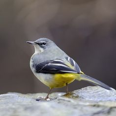 Photoshop Elements, Photoshop Actions, Photography Lessons, Wildlife Photography, Pretty Birds, Beautiful Birds, Grey Wagtail, Cute Small Animals, Animals