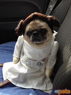 cute pug dressed as princess Leia for Halloween http://www.edgemere.co.uk/blog/halloween-pet-costumes/