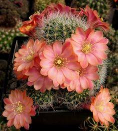 cactus, Rebutia fiebrigii