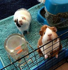 Got something yummy for us? Diy Guinea Pig Cage, Pet Guinea Pigs, Guinea Pig Care, Happy Animals, Cute Funny Animals, Cute Baby Animals, Animals And Pets, Pig Pics, Guniea Pig